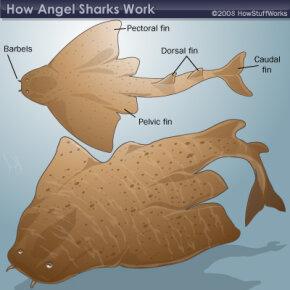 The anatomy of an angel shark