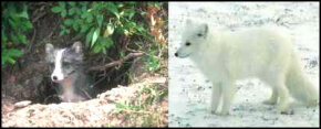 As the seasons change, the Arctic fox changes the color of its coat. In the spring and summer, it has a dark coat, to match the brown dirt in its environment. In the fall and winter, it turns white, to match the surrounding snow.