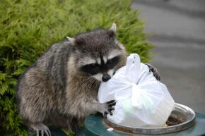 "Just because raccoons get their food from the garbage doesn't mean they won't ""wash"" it before eating."