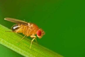Strangely, this fruit fly (perched on a blade of grass) has sperm that is 1,000 times longer than a man's sperm.