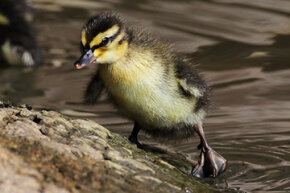 Building on the research of Konrad Lorenz, researchers have found that the harder mallard ducklings work to follow what they think is their mother, the stronger the imprinting effect.