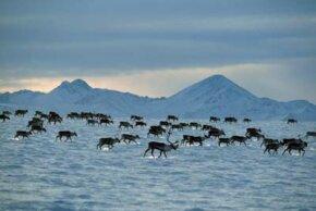 Porcupine caribou herd migrating