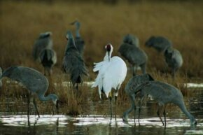 At Bosque del Apache National Wildlife Refuge in New Mexico, a whooping crane preens among foraging sandhill cranes.