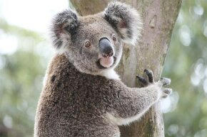Koalas shouldn't be called bears since they're really marsupials. They're not so cuddly either.