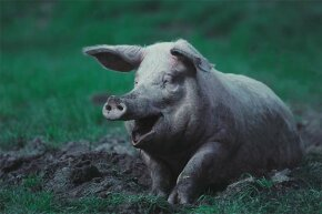 What's that expression: 'happy as a pig in mud'? Pigs have few sweat glands so the mud keeps them cool. They're clean animals otherwise.
