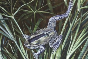 You can't see the claws in the illustration of this hairy frog, but rest assured that they're ready and waiting for any foolish predator.
