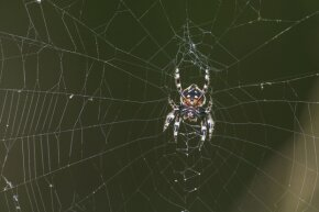 A Darwin's bark spider demonstrates its wondrous web-building abilities at South Africa's Vernon Crookes Nature Reserve.
