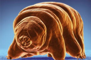 Isn't that the cutest microscopic invertebrate you've ever seen? Tardigrades are also way tougher than you'll ever be.