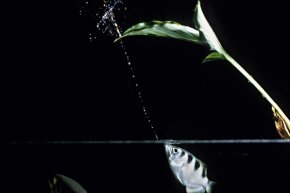 The archerfish fires away with its impeccable aim.