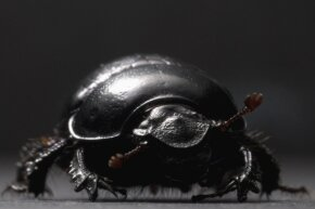 Hello, Geotrupes egeriei. Did you know that you're related to the strongest animal in the whole world?