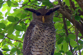 The spot-bellied eagle owl is also known as the devil bird because its high-pitched call sounds like a human scream.
