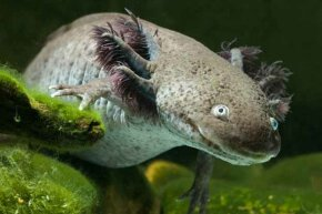 The Mexican Academy of Sciences found an average of 6,000 axolotls for each square kilometer in lakes in 1998. By 2003, this figure had dropped to 1,000 and to a scant 100 by 2008.