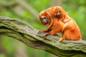 This golden baby tamarin clings tightly to her equally flame-haired mother.