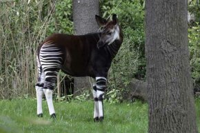 The okapi's brown body and striped legs are perfect camouflage for the forests it lives in.