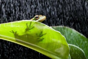 When rain's a-comin', frogs get a-courtin'. That's why they croak so much more.