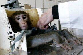 Russian scientists prepare a monkey for space-medicine-related testing.