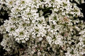 Annual candytuft, a depending on the variety. See more pictures of annual flowers.