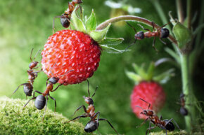 Some ants do have a sweet tooth.