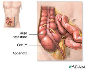This diagram shows the location of the appendix at the cecum. Unfortunately, that's also a likely place for infection to occur. See more bodily organ pictures.