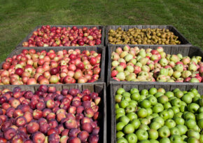 A medium-sized apple contains about 72 calories. See more apple pictures.