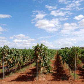 Apulian wines are a practical purchase in today's economy - good wine at a good price. See our collection of wine pictures.