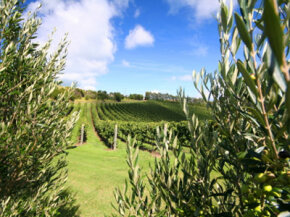 Auckland is home to one of New Zealand's oldest wine companies. See our collection of wine pictures.