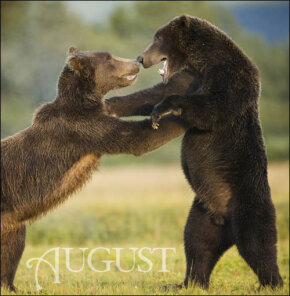 In august, bears do what they do best: eat, relax and eat some more.