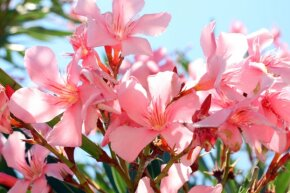 Oleander adds visual interest to a landscape, but it's highly toxic.