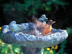 You might consider it a lot of work to keep a birdbath full of water and open for business, but catching glimpses of a little robin's enthusiastic splashing can make it worth all the effort.