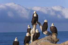 Bald eagles in Alaska were never endangered like the ones in the lower 48.