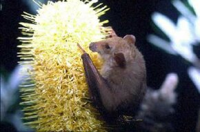 Bats are the only mammals that can fly, and they live much of their lives hanging upside down. See more mammal pictures.
