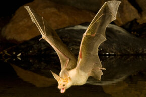 A pallid bat hunts for food above a pond in Arizona.