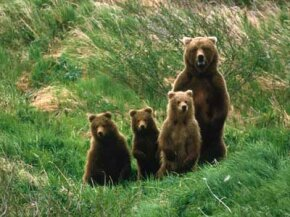 You don't want to get between a mother grizzly and her cubs.