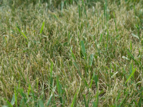 Here, you can see the crabgrass (the brighter green blades) growing within the dying grass.