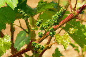 If you visit wine country in the spring, you may get to see brand-new grapes budding out on the vines.