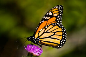 A monarch touches down in the ecosystem of this purple thistle flower. See more insect pictures.