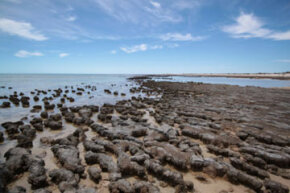 When microbial biofilms bind together sedimentary grains, they can form stromatolites such as these on the coast of Australia.