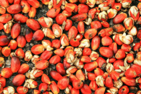 Palm seed oil is a great candidate for large-scale biofuel producers, because it creates such energy-dense biofuel.