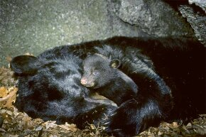 Bears depend on seasonal circadian rhythms to tell them when to hibernate for the winter -- and when to come out.