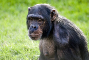 A study examining chimpanzees who were taught to walk on two legs indicates that humans began walking on two legs to be more energy efficient. See more pictures of monkeys.