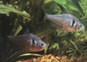 Black Phantom Tetra -- Megalamphodus melanopterus See more Aquarium Fish Image Gallery.