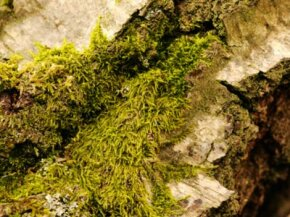 Many gardeners use several varieties of moss for their bogs.