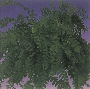 Boston fern is easily recognized by its frilly fronds. See more pictures of house plants.