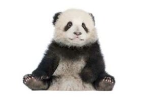 The birth of a baby giant panda can really boost visitorship to zoos. See more endangered animal pictures.