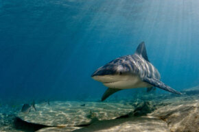 A bull shark cruises the warm waters of the Bahamas. See more shark pictures.