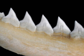 The fine serrations on bull sharks' teeth make them ideal for eating you.
