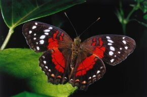 A butterfly sits on a leaf in the Amazon