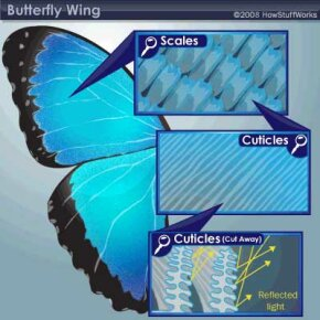 When light hits the different layers of a butterfly wing, it is reflected numerous times. The combination of all these reflections causes the intense colors of many species.