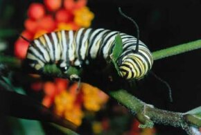 A monarch butterfly caption eats a milkweed plant.