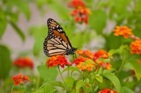 A monarch butterfly visits a patch of orange lantanta. See more pictures of insects.